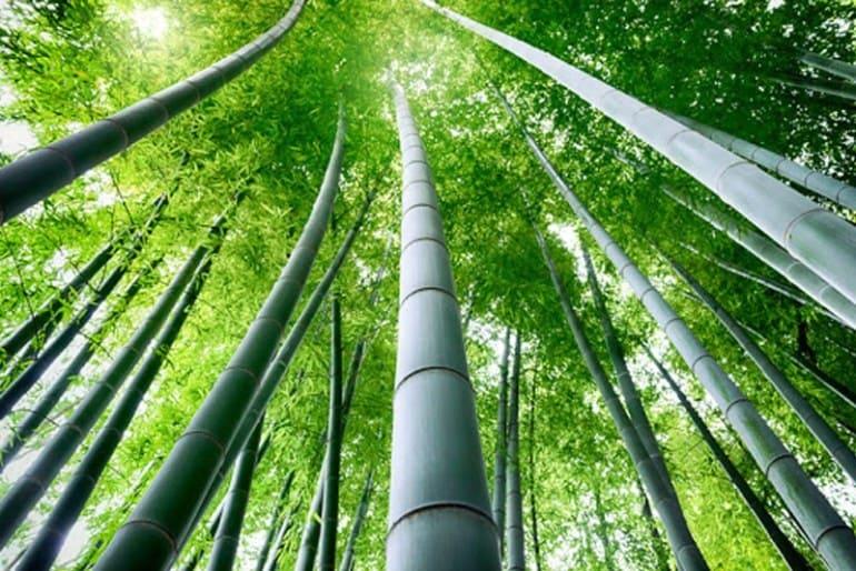 бамбук в природе